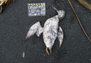 "Thousands of common murres such as this one died and washed ashore as a result of a marine heat wave known as ""the blob."""