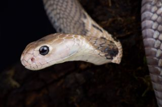 A new study suggests snakes may be the source of the new coronavirus causing an outbreak in China. Above, an image of Naja atra, a type of snake common in Southeastern China.
