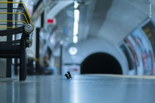 Two mice fight over a scrap of food on a London subway platform
