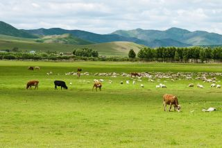 Cows and sheep on a field in Inner Mongolia.