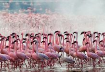Pink flamingos returned to the lake in Kenya