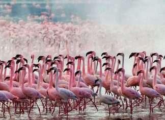 Pink flamingos returned to the lake in Kenya