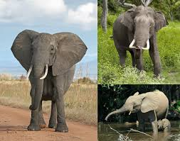 Export of elephants from Africa to other continents banned